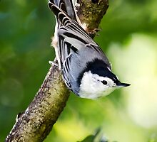 Charming Nuthatch by Christina Rollo