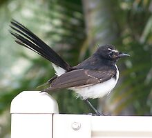 Willy Wagtail. by heyitsmefi