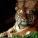 Tiger Eyes by Jarede Schmetterer