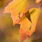 Maple leaves in Fall by John Wright
