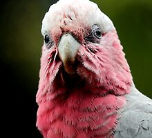 Young Galah Portrait III in watercolours by Lesley Smitheringale