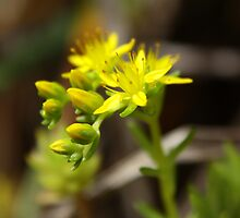 Yellow Cremorne Point Flowers by Ann Barnes