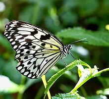 Butterfly by jrphotography05