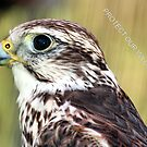 PROTECT OUR WILDLIFE FALCON by BOLLA67