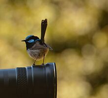 Superb Fairy Wren (Malurus cyaneus), Barrington Tops National Park by Blue Gum Pictures by Blue Gum Pictures
