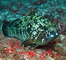Posing Grouper by DiveDJ