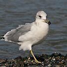Common Gull by Robert Abraham