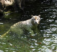 White tiger takes a swim by Bev Pascoe