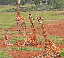Group of Giraffes by Jenny Brice
