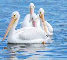 American White Pelicans by Franklin Lindsey