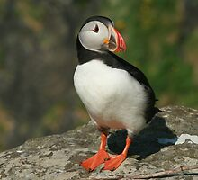 Watchful puffin by Fiona MacNab