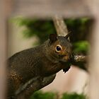 Squirrel by klphotographics