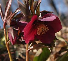 Lenten Rose in Woods by Anna Lisa Yoder