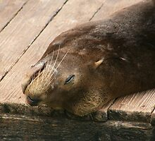 Seal resting by klphotographics