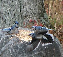 Battle of the Blue Jays by amyklein196203