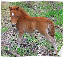 Two Week Old Miniature Pony Foal Poster