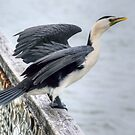 I spread my wings........Pied Shag...........! by Roy  Massicks