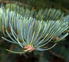 Concolor Fir by rdshaw