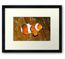 Western Clown Anemonefish Framed Print