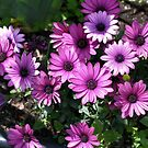 Purple African Daisies by SmilinEyes