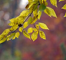 Backlit Leaves by rdshaw