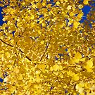 Detail, Autumn, golden aspens by cascoly