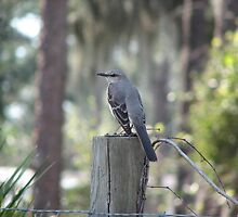 Mocking bird on a fence post by abacoian