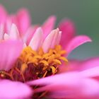 the softness of pink by malina