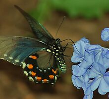 Blue Morpho by loiteke