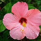 Pink Hibiscus by Candyworld