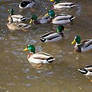 A Sord of Mallards by Bryan D. Spellman