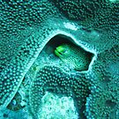 Moray Eel, Lord Howe Island by spanners79
