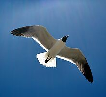 Soaring Laughing Gull by Dennis Stewart