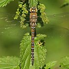 Female Migrant Hawker  by Robert Abraham