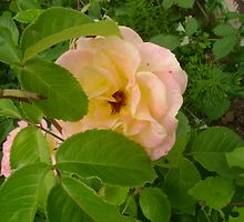 Peeping Rose by Sheri Scherbarth