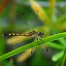 Golden Dragonfly 2 by Virginia N. Fred