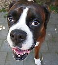 Hi There!  -Boxer Dogs Series- by Evita
