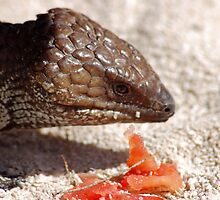 Bobtail Blue Tongued Lizard, Western Australia by Adrian Paul