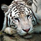 White Tiger by Dennis Stewart