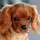 A Ruby Cavalier Puppy by Jenny Brice