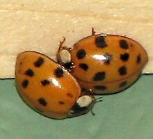 Ladybugs... by Sheila  Pasket