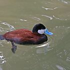 Ruddy Duck by Robert Abraham