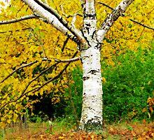 Birch by vadim19