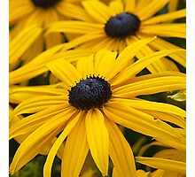 Black Eyed Susan Photographic Print