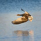Greylag Flight by M.S. Photography/Art