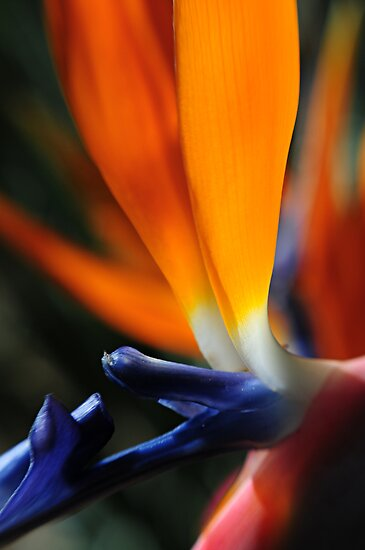 Bird of Paradise by AnnieD