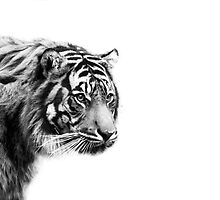 Black and White Tiger by PenguinPlot