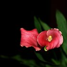 Calla Lily I by EducatedSavage