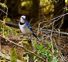 Blue Jay by StephenCoyle
