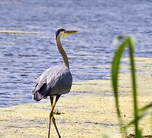 Heron by StephenCoyle